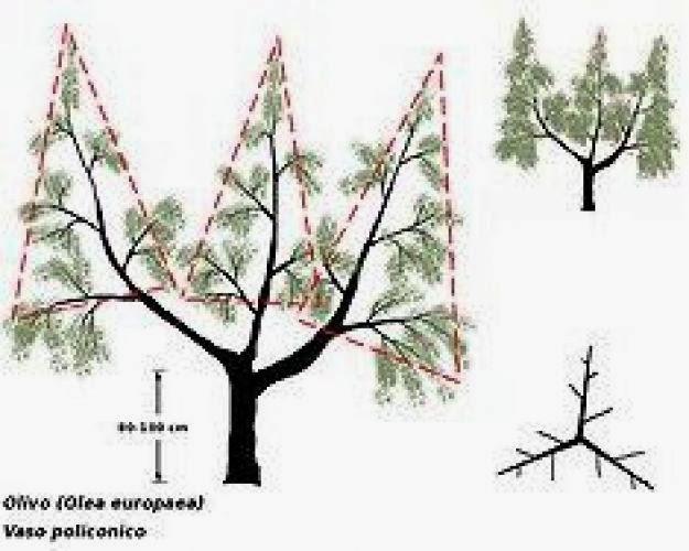 Come fare la Potatura degli Olivi e quando i consigli degli esperti