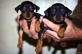 Allevamento di cani Pinscher: una possibilità di lavoro