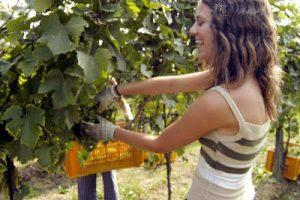 Raccogliere uva, oliva presso amici o parenti é legale o no?