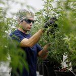 L'Industria di Marijuana Sta Creando Posti di Lavoro Più Velocemente di Tutte le altre in USA